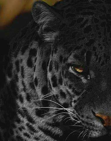 Top 63 Panther Tattoo Ideas 2020 Inspiration Guide Animals Animals Wild Animals Beautiful