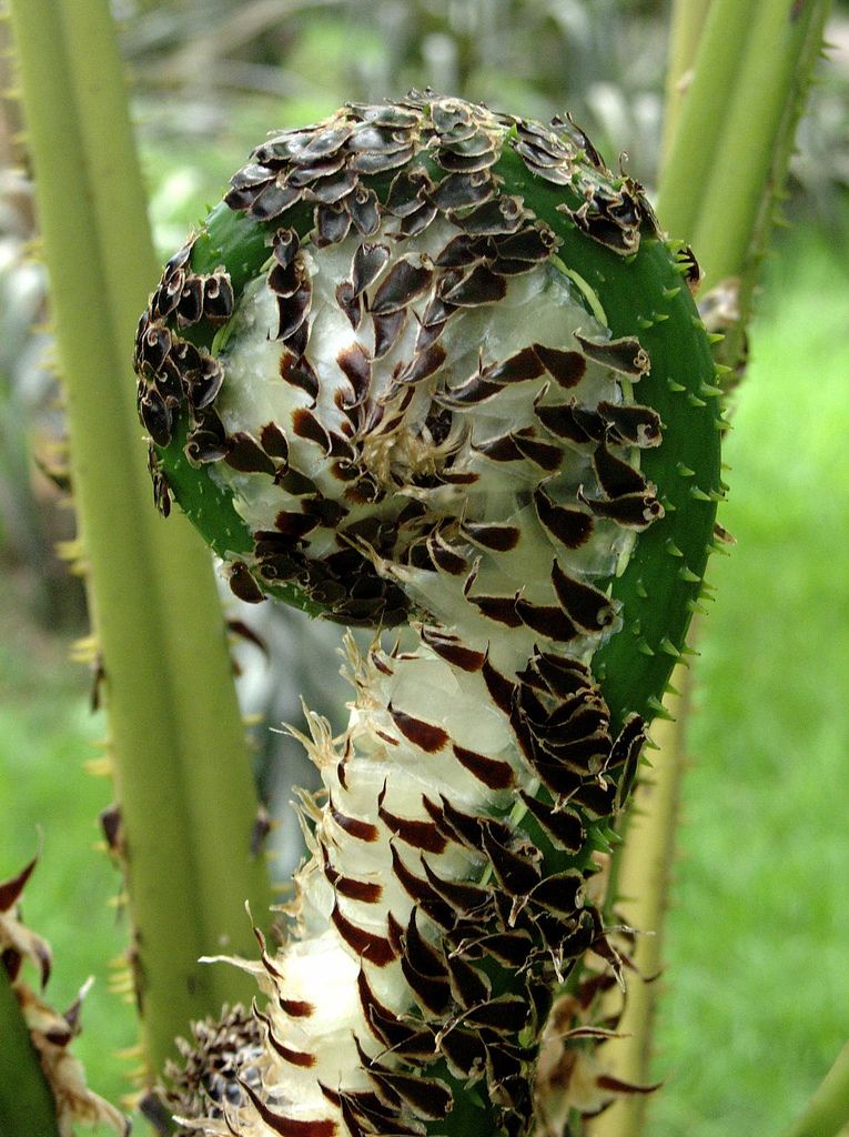 Cyathea sp  | Ferns | Ferns, Ferns garden, Fern spores