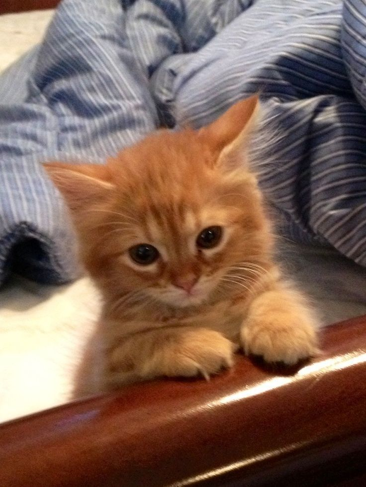 Gorgeous Tiny Half Ragdoll Kittens For Sale Hull East Riding Of Ragdollkittens Gorgeous Tiny Half Ragdoll Ki In 2020 Tiny Kitten Ragdoll Kitten Kitten For Sale