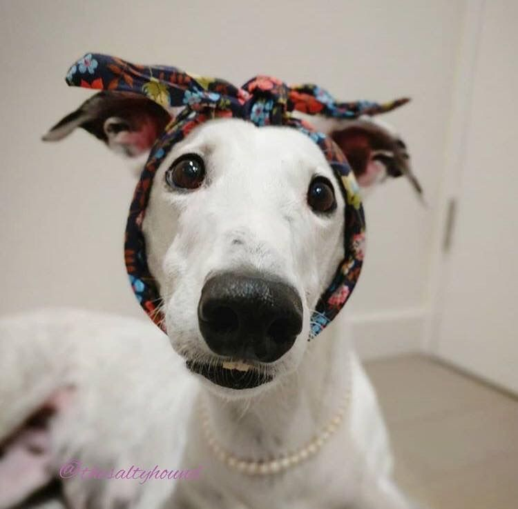 Pin by greyhound greetings on greyhounds pictures grey
