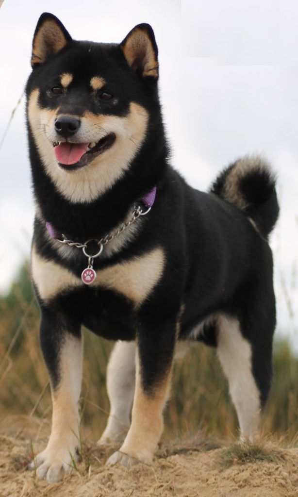 Beautiful Handsome Black Shibbo