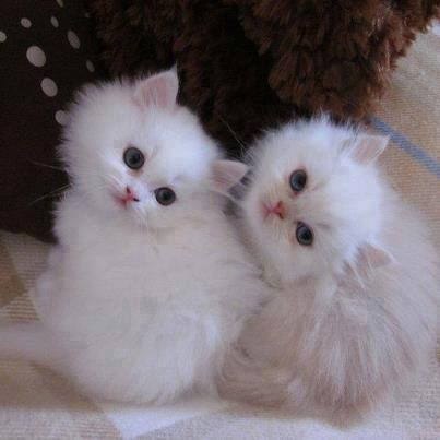 """""""We quickly discovered that 2 kittens were much more fun than one."""" --Alan Lacy"""