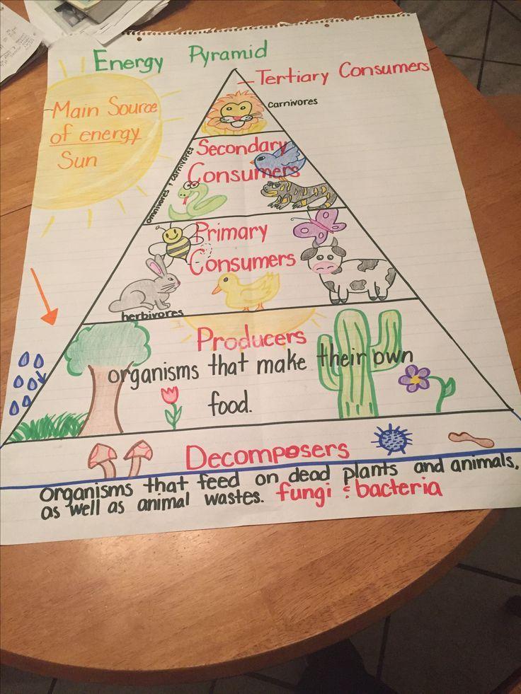 food chain energy pyramid  5th grade