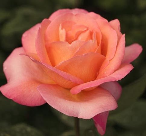 jazz festival meizizany hybrid tea rose orange. Black Bedroom Furniture Sets. Home Design Ideas
