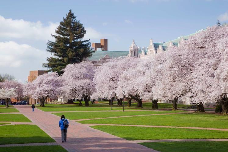 Cycling Seattle S Burke Gilman Trail Cherry Blossom Cherry Blossom Tree University Of Washington