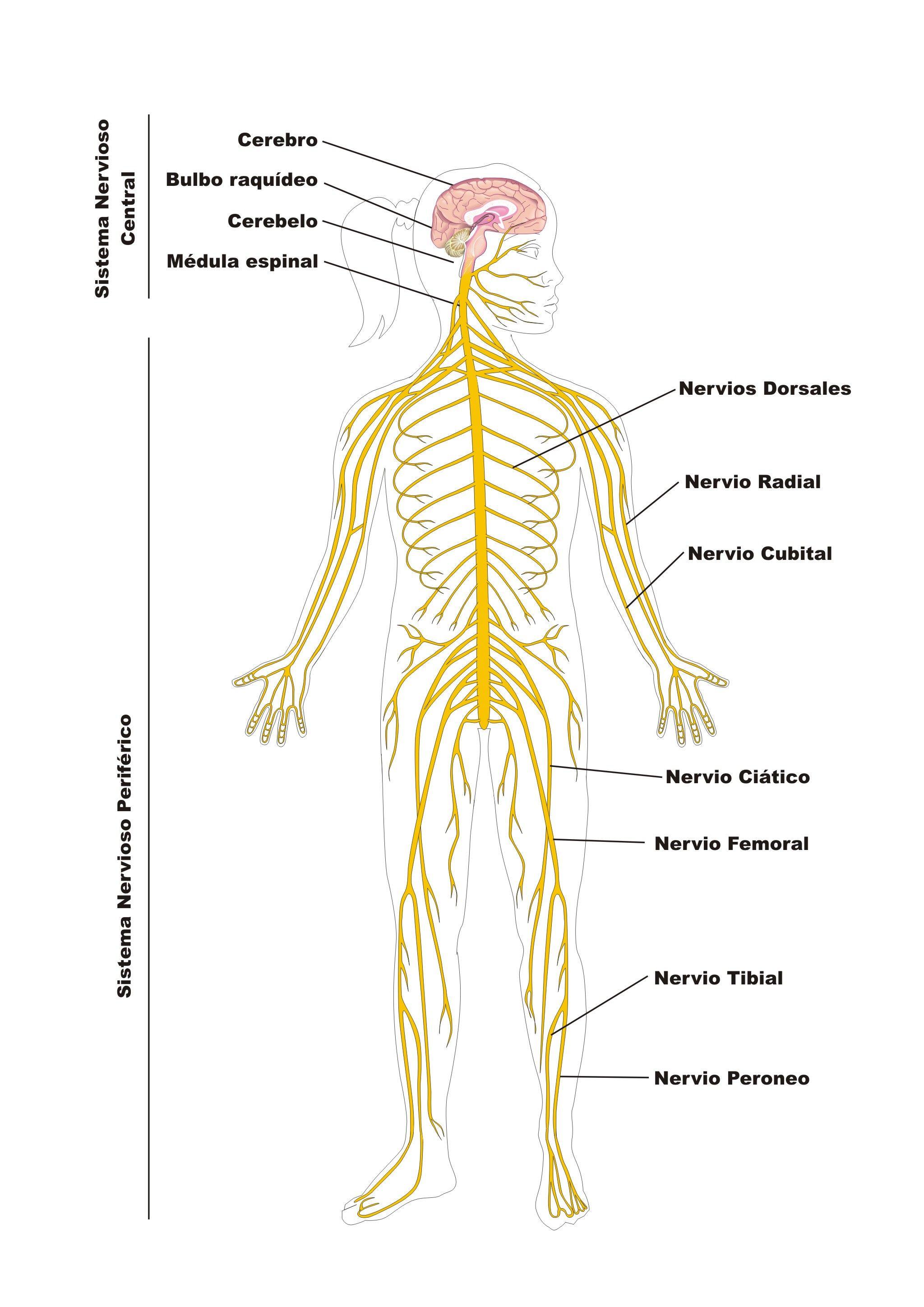 Resultado de imagen para nervios raquideos anfibios | Anphibians ...