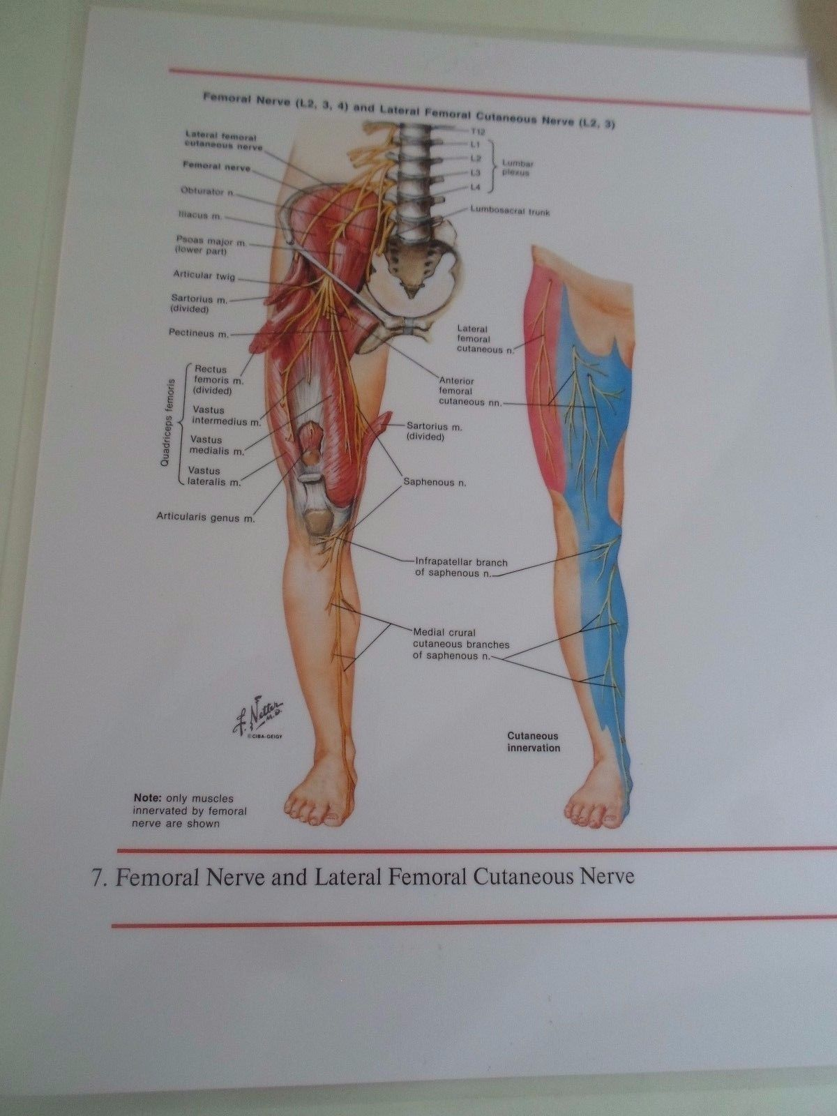 Glossy Colour Laminated Diagram FEMORAL NERVE+LATERAL FEMORAL ...