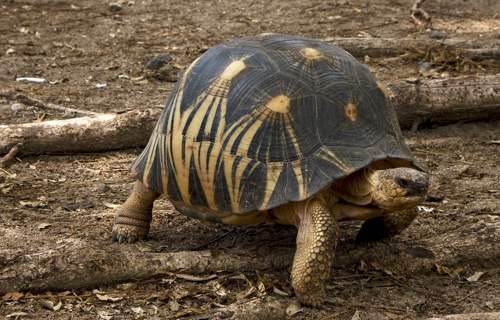 Radiated tortoise | Turtle Club | Pinterest | Turtle