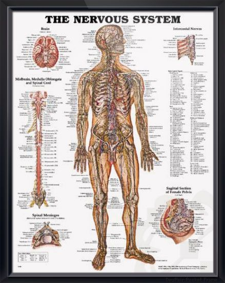 The Nervous System 20x26 Spinal Cord Nervous System And Anatomy