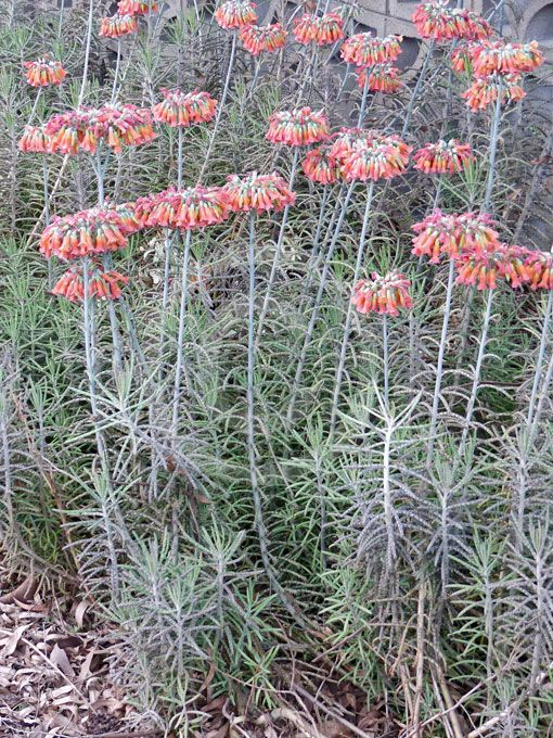 Chandelier plant bryophyllum delagoense invasive species chandelier plant bryophyllum delagoense aloadofball Choice Image