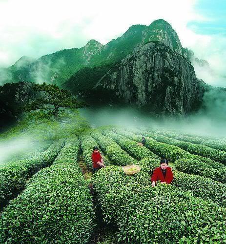 beaaauuuutiful photo of a Chinese tea farm