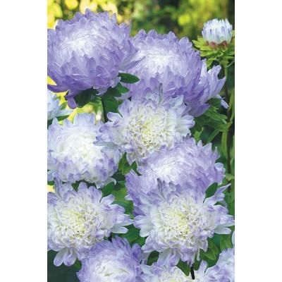 I Love These Flowers Johnsons Seeds Aster Duchess Blue Ice J842 Home Depot Canada Fall Flowers Beautiful Flowers Purple Flowers