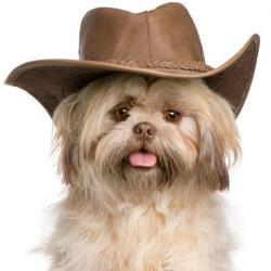 Cute Cowboy Lol Dogsittingperth Shih Tzu Dog Shih Tzu Shitzu Dogs