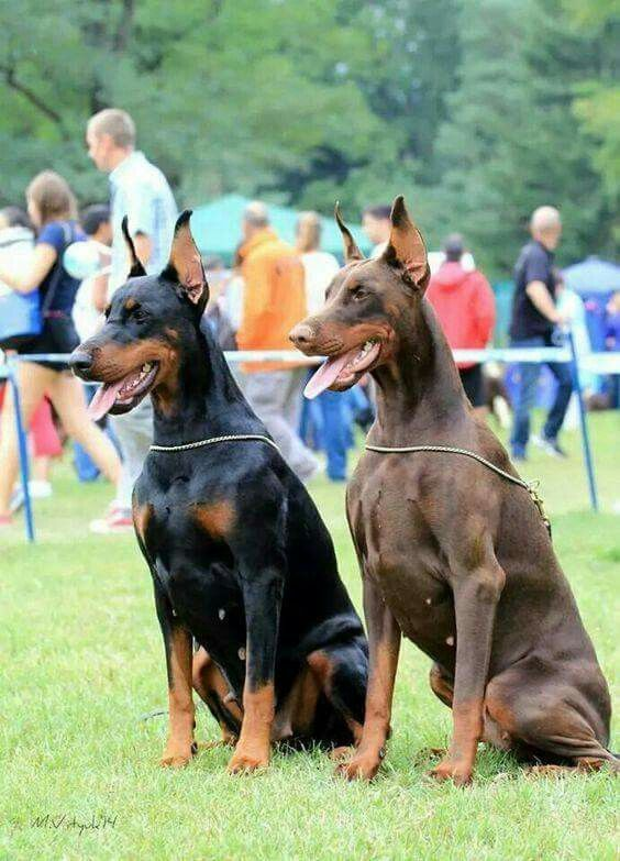 Black And Red Doberman Pinscher Dog