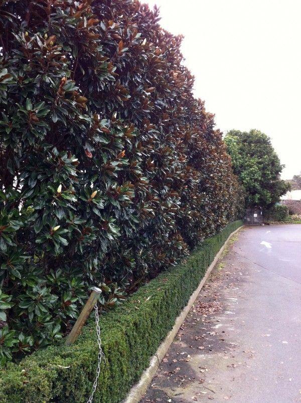 Magnolia Grandiflora Little Gem Details Of The Plant Tga