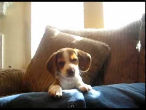 Adorable Beagle Puppy Does His First Howls Cute Funny Dogs