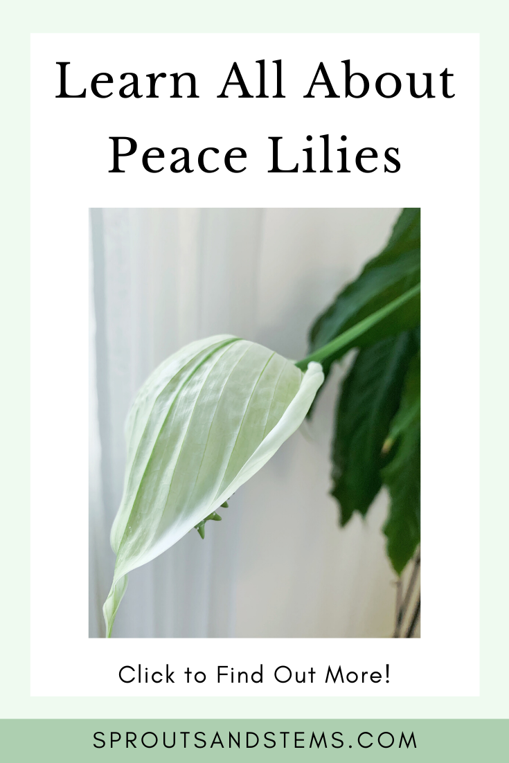 Peace Lilies Everything You Need to Know in 2020 Peace