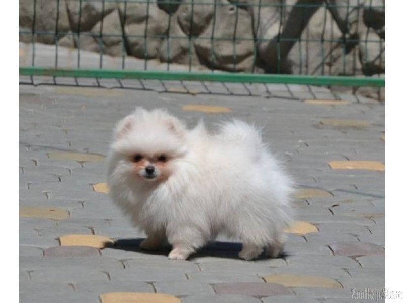 Pomeranian For Sale Near Me Pomeranian For Sale Maryland Pomeranian For Sale Virginia Pomeranian For Cat And Dog Memes Pomeranian Puppy For Sale Pets For Sale