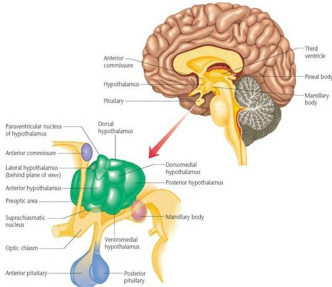 Brain region sexual behavior