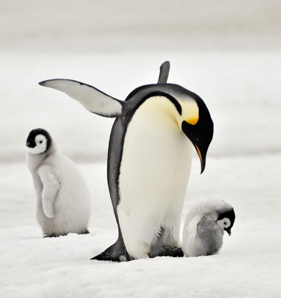 15 Amazing Animals That Start With The Letter E Cute Penguins Penguins Emperor Penguin