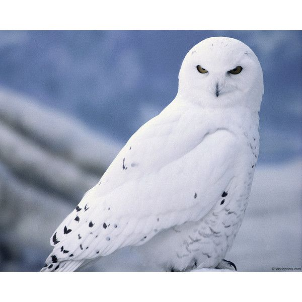 Wallpaper Owl Owl Eyes Winter Desktop Hd Desktop Wallpapers Snowy Owl Animals Beautiful Pet Birds