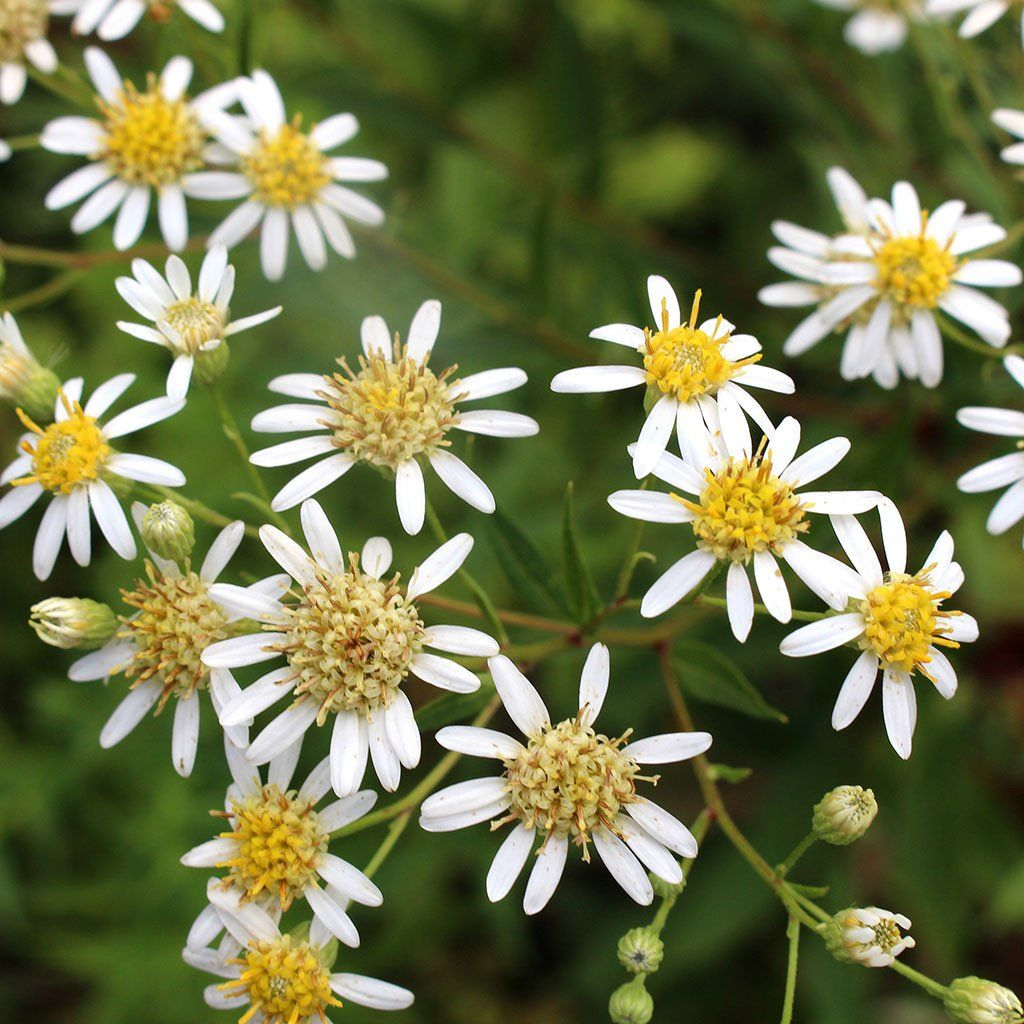 Asters Tall White Aster Doellingeria Umbellata Seeds Seeds For Sale White Flowers Garden Planning