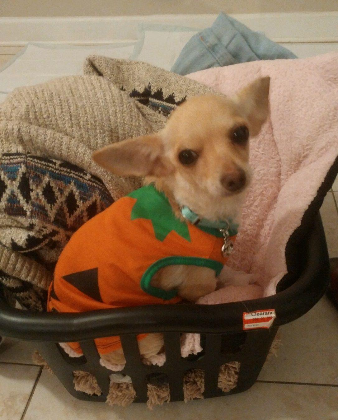 Chihuahua Dog For Adoption In Royal Palm Beach Fl Adn  On Puppyfinder