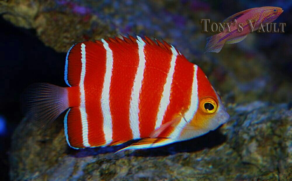 Peppermint Angelfish Beautiful Sea Creatures Angel Fish Underwater Creatures