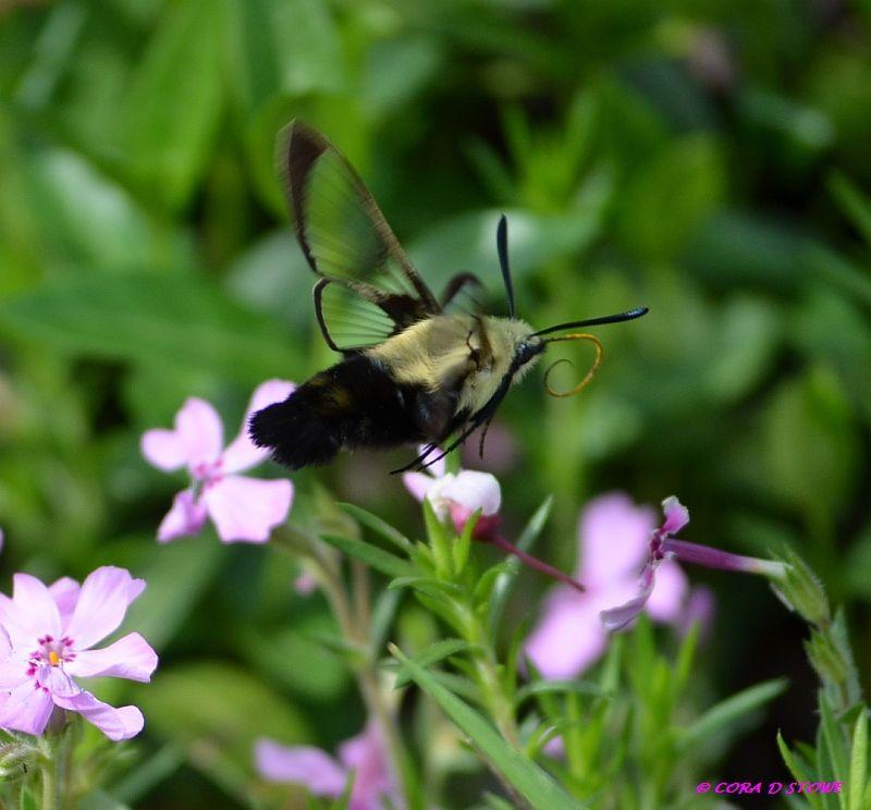 Hummingbird Moth! Amazing little creatures.