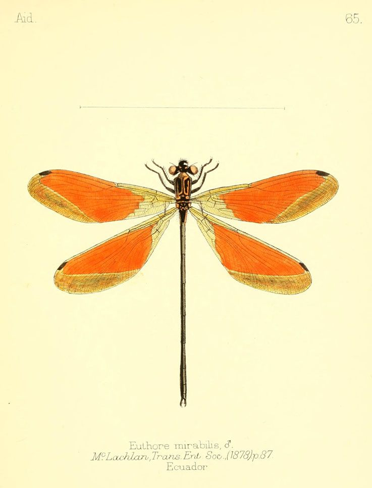 """Euthore mirabilis. Dragonflie from """"Aid to the identification of insects"""" by Charles Owen Waterhouse, V. 1, 1880-90. London. Via Biodiversity Heritage Library."""