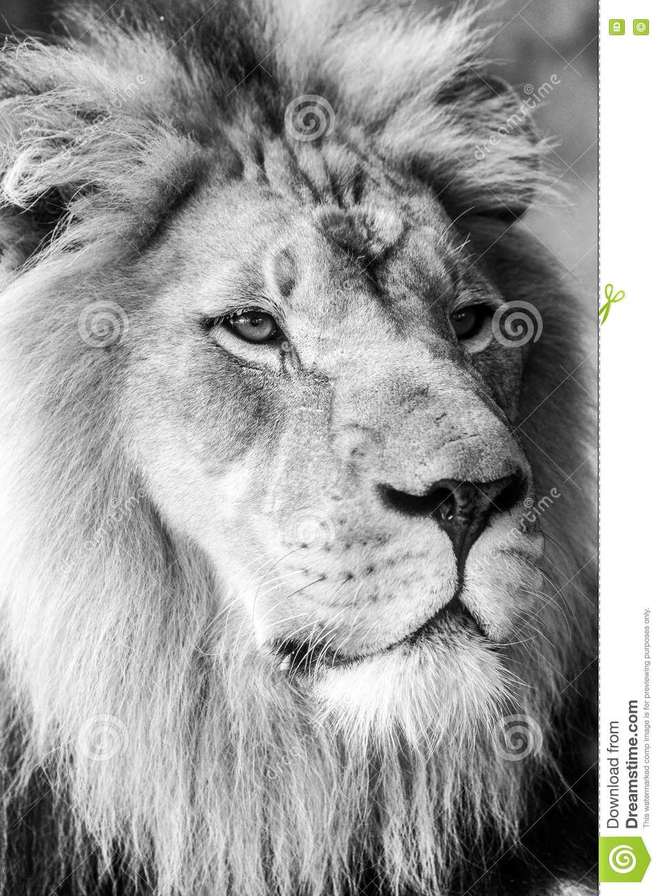 Lion Face Side View With A Large Mane - Download From Over 48 ...