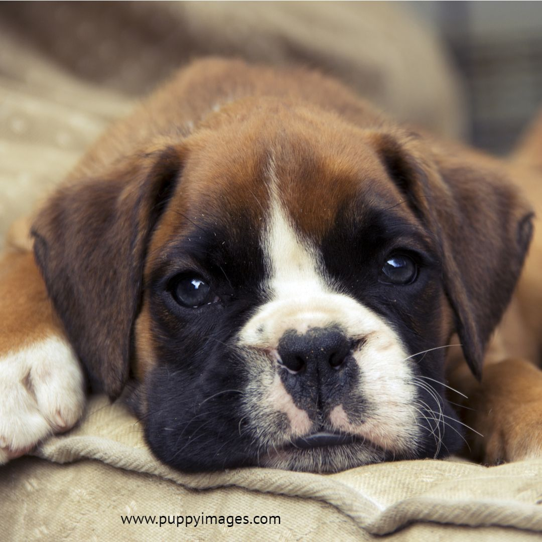 Brown boxer puppy puppies boxer puppies