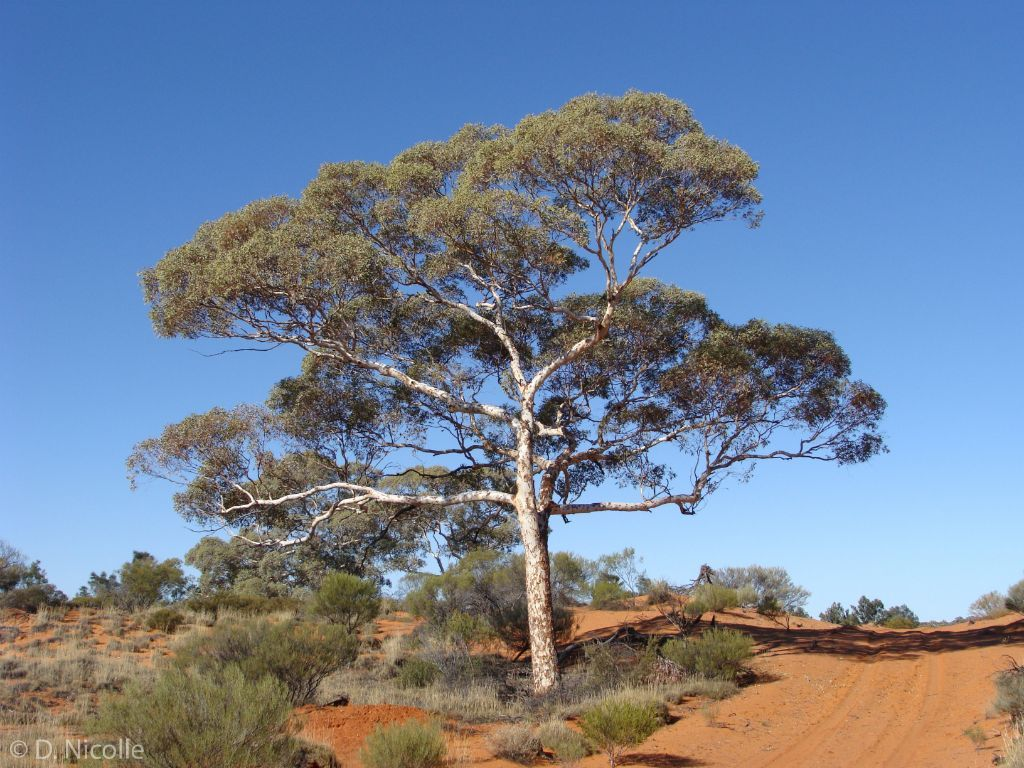 Eucalyptus Gongylocarpa (desert Gum) South Of Voakes Hill