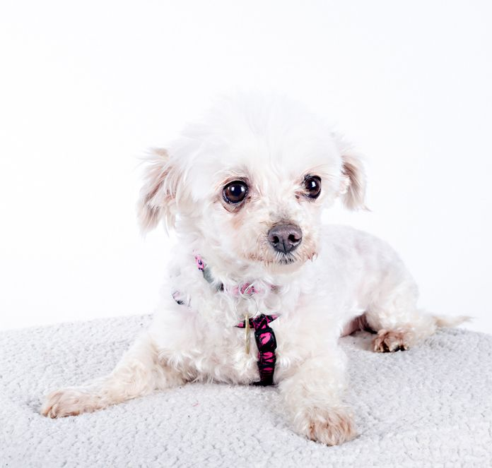 Maltese Dog For Adoption In St Louis Park Mn Adn 535739 On