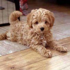 Goldendoodles - Teacup Goldendoodle puppies - Prec