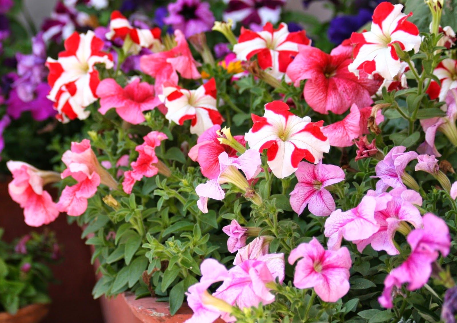 Home Gardening India Collecting Seeds Petunia Petunias