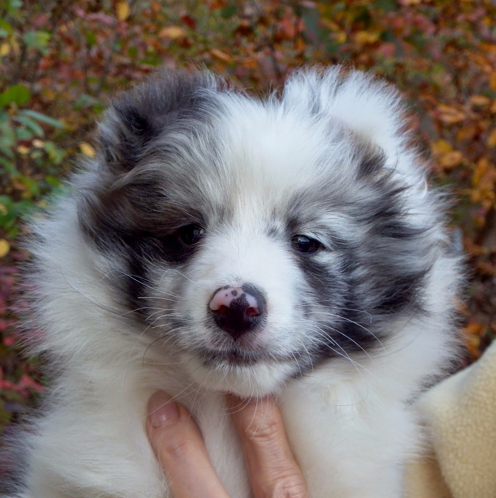 Pin by Connie Laughlin on Shetland Sheepdogs Sheltie