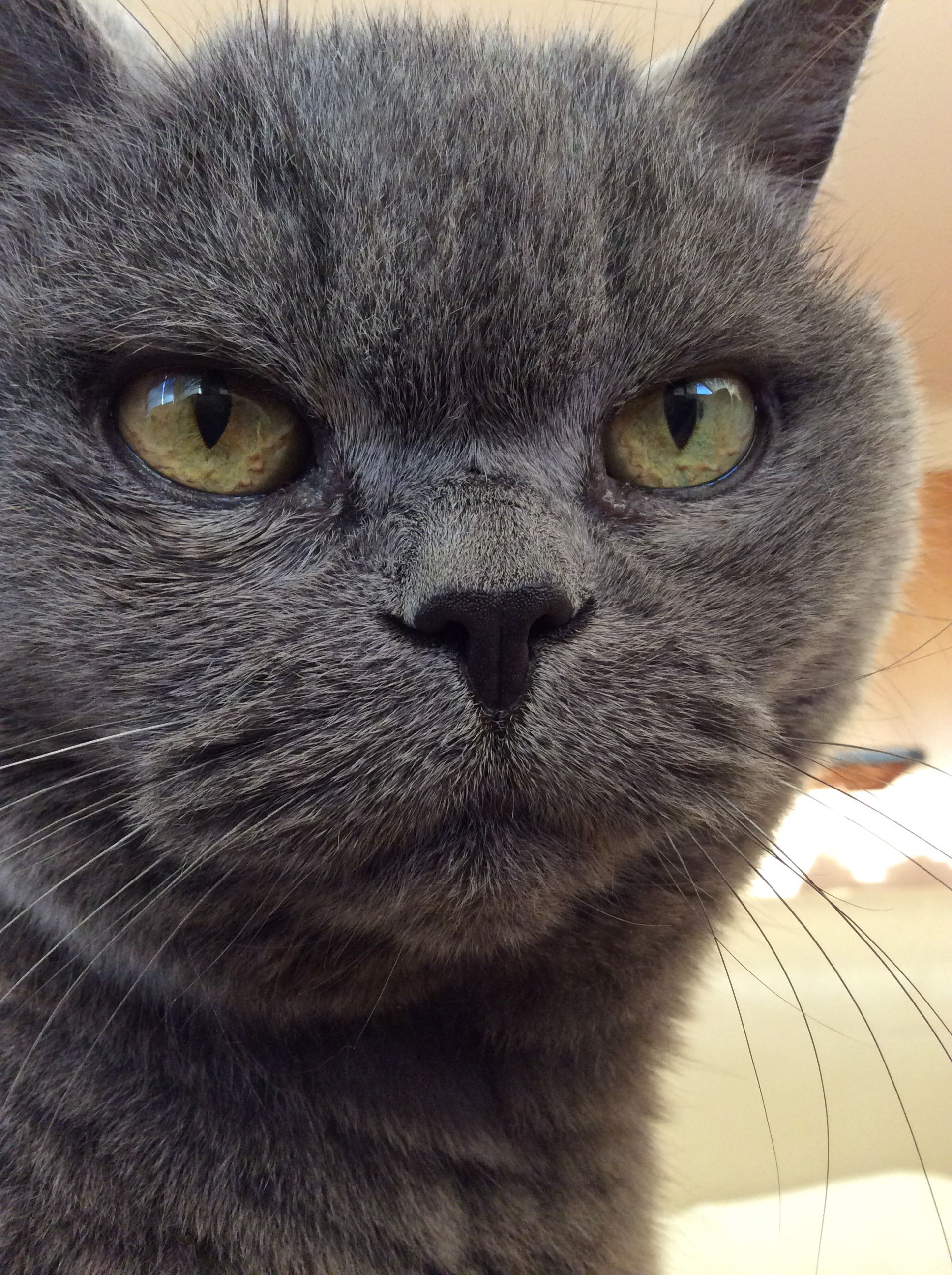 Pin by Katie Cassap on Miss Kitty British Shorthair Cat