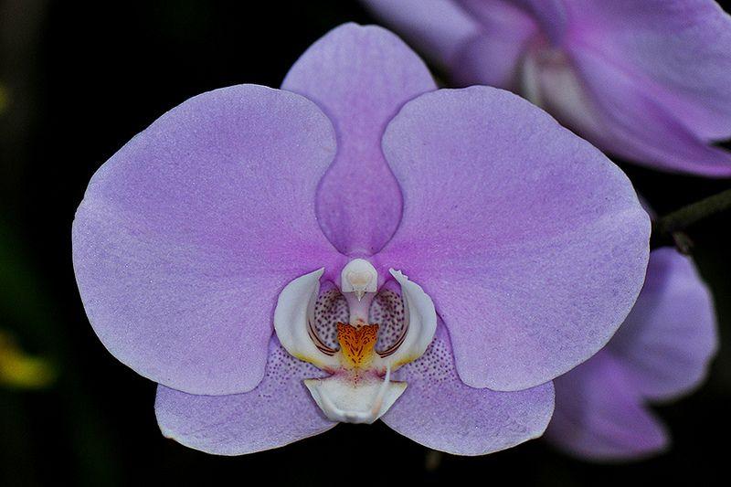 Phalaenopsis Orchid Royal Botanical Garden Of Peradeniya Kandy Sri Lanka Srilanka Peredeniya Botanic Flower Plant Images Plant Images Phalaenopsis Orchid