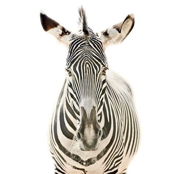 Animal Portraits By Morten Koldby Via Behance Animals - The most striking animal portraits youll ever see by morten koldby