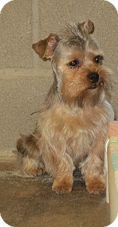 Shih Tzu Yorkie Yorkshire Terrier Mix Dog For Adoption In Lubbock Texas Sumac Terrier Mix Dogs Shih Tzu Dog Adoption