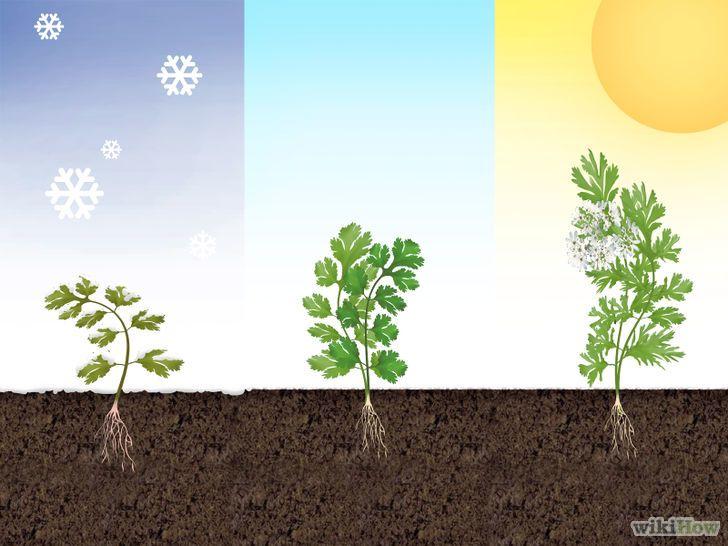 Cómo cultivar cilantro