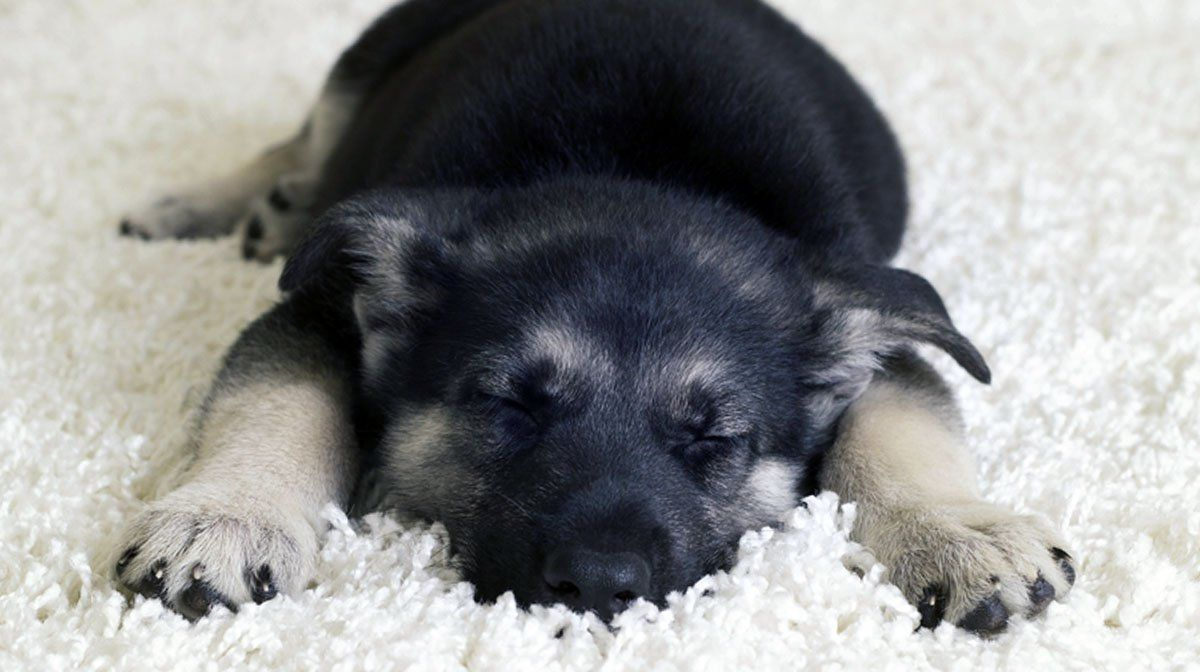 Teach Your Puppy to Sleep Through the Night A Dog Trainer