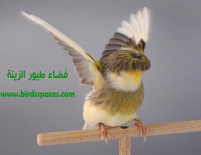 كـناري الـجلـوسـتـر Gloster Canary Canary Animals Bird