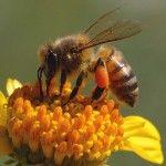 تحميل أحلى صور النحل صور نحل حلوة Bee Bee Keeping Insects