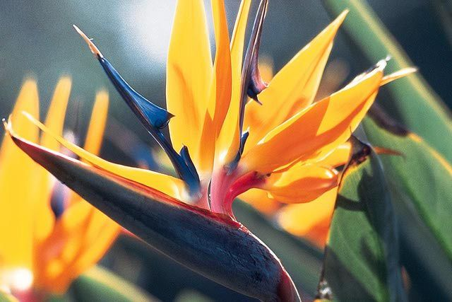 Grow The Beautiful Tropical Bird Of Paradise Plant With These Tips Paradise Plant Birds Of Paradise Plant Birds Of Paradise