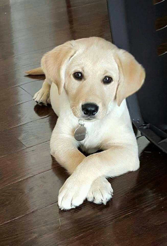 Pin By Cindi Hoppes On Bio Cute Labrador Puppies Labrador Retriever Puppies Cute Puppies