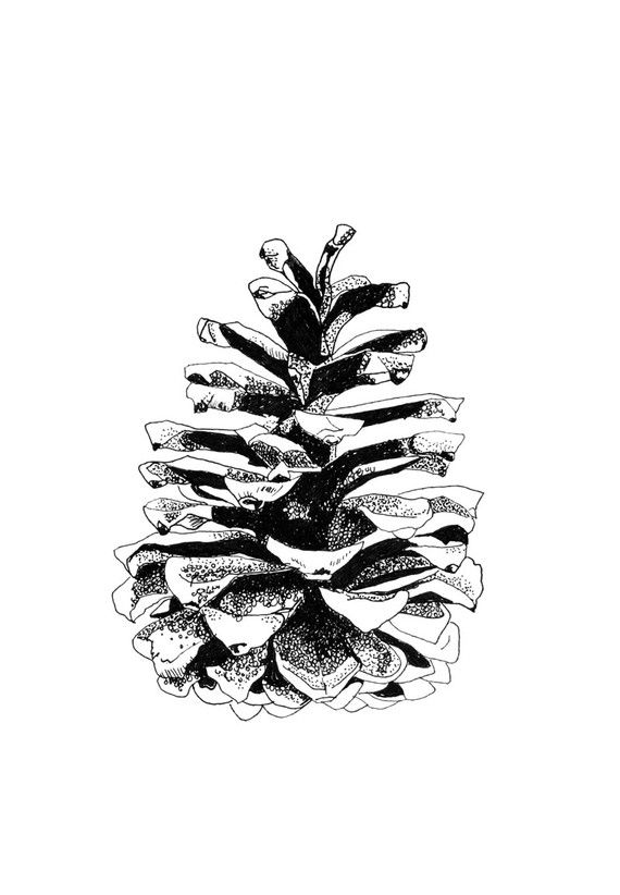 pine cone line drawing