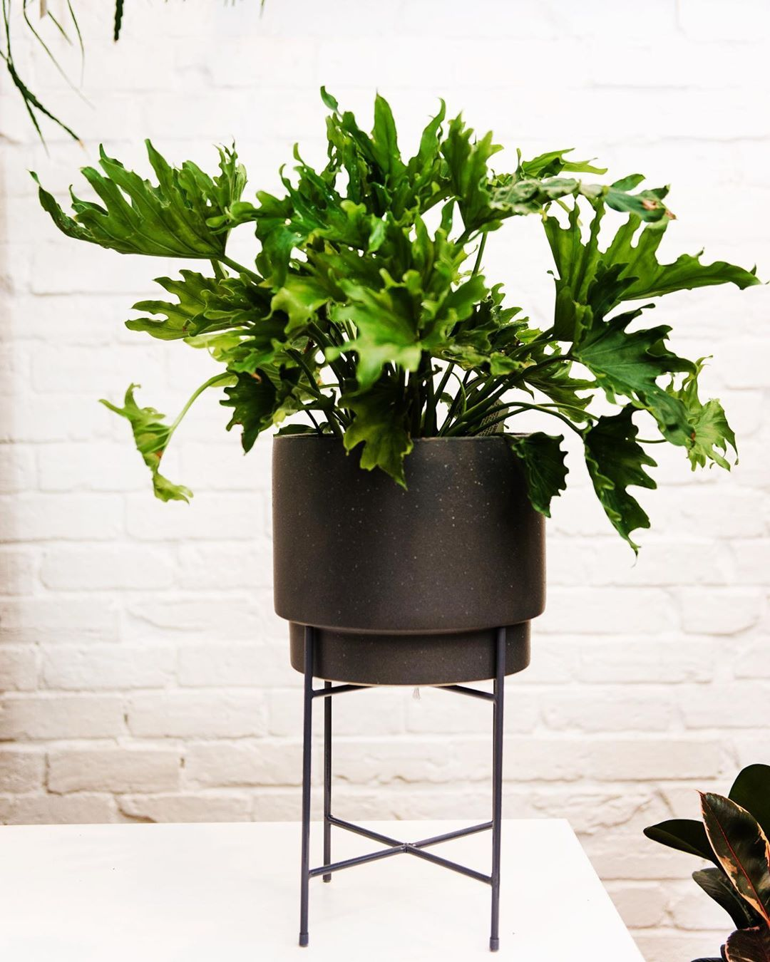 Mosey Store On Instagram Philodendron Friday