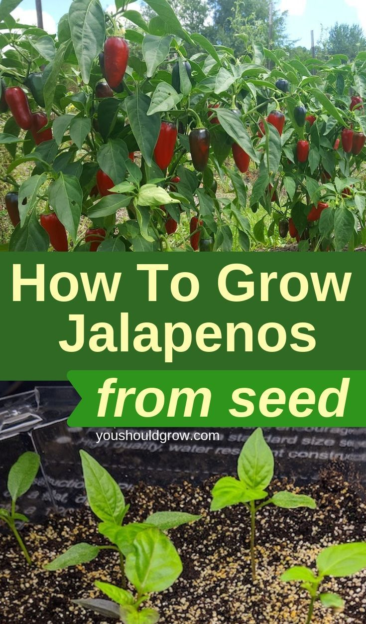 How To Grow Jalapenos & Preserve Your Harvest | Pepper ...